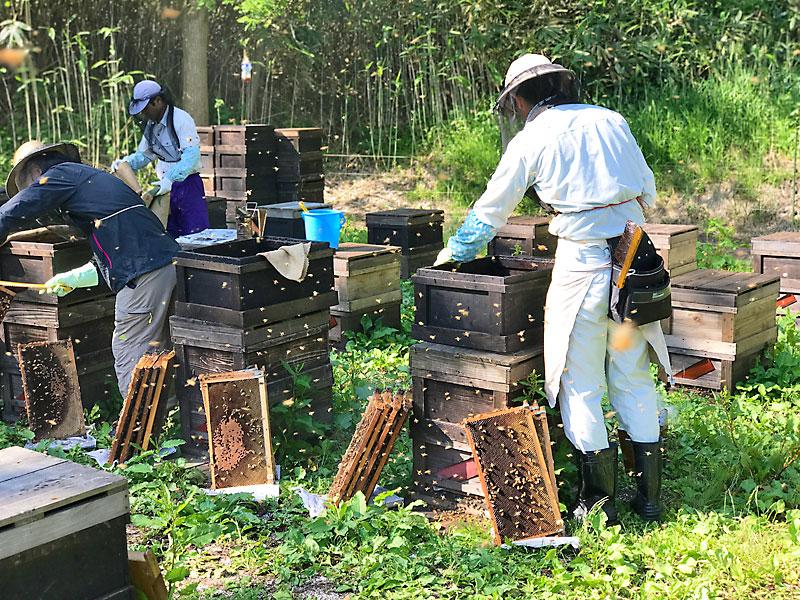 アカシア咲く秋田での養蜂の様子